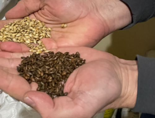 Same Grain Feeds Beer and Beef at Martin City Brew Pub